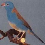 Blauwkopblauwfazantje man